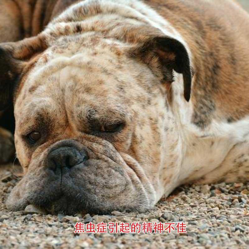 狗狗阴囊炎症状_狗狗血液寄生虫传染病有什么危害