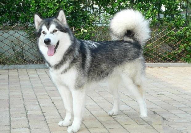 """患犬阿拉斯加""""当当"""",8月龄"""